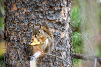 Pacific Red Squirrel