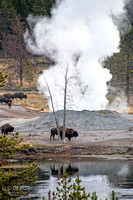 Bison near Thermal Vent